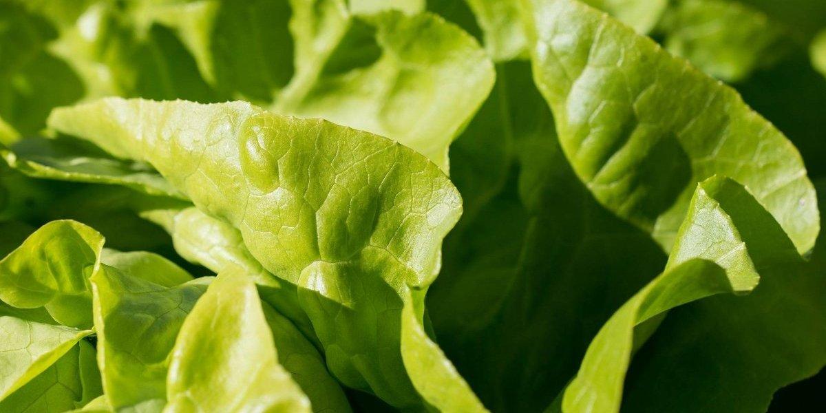 Estados Unidos e Canadá recomendam não comer alface por causa de bactéria