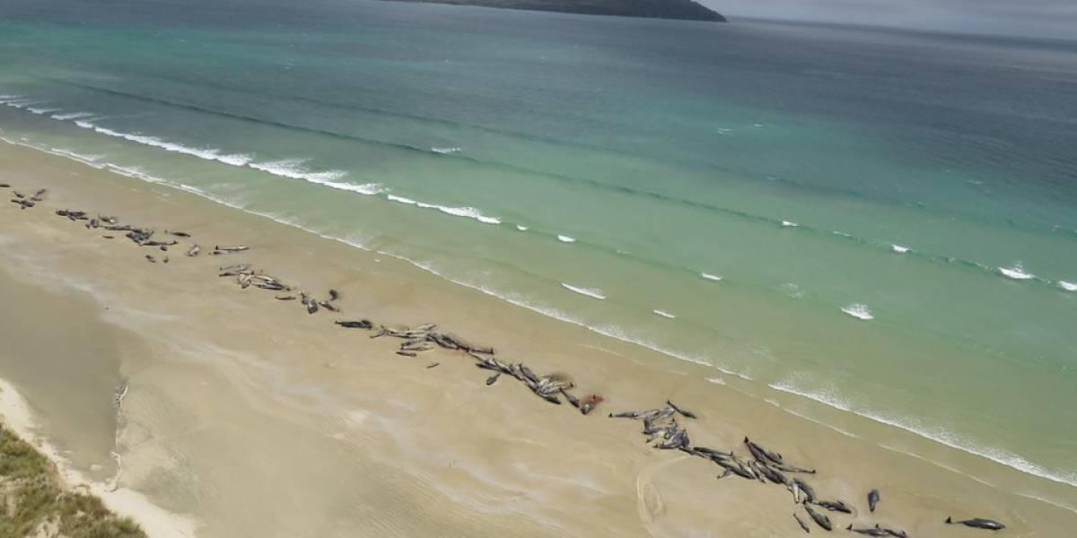 A triste e impressionante fila de 145 baleias encalhadas em praia da Nova Zelândia