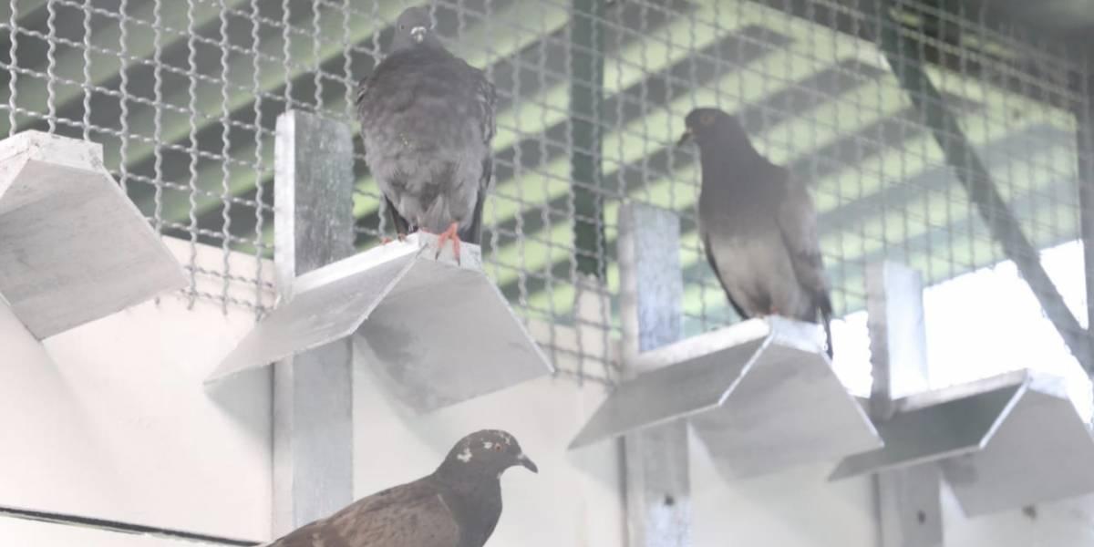 Así es el centro de atención para palomas que inauguró el Distrito