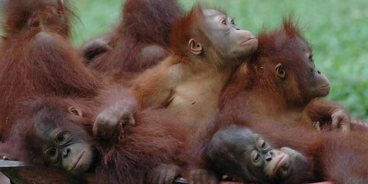 Lo obligaban a usar maquillaje y perfume: la horrenda historia del orangután rescatado tras años obligado a ser esclavo sexual