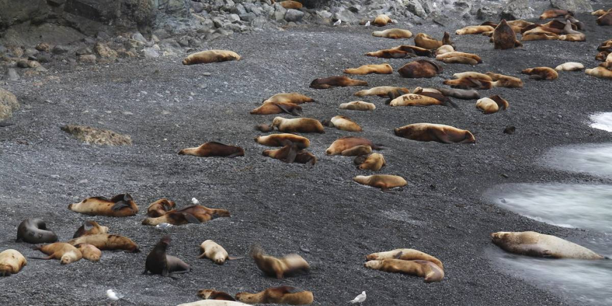 Encuentran una gran cantidad de leones marinos baleados y mutilados en playas de EEUU