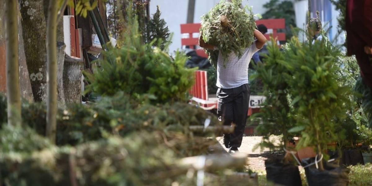 Producirán hasta 50 mil subproductos del pinabete para temporada navideña