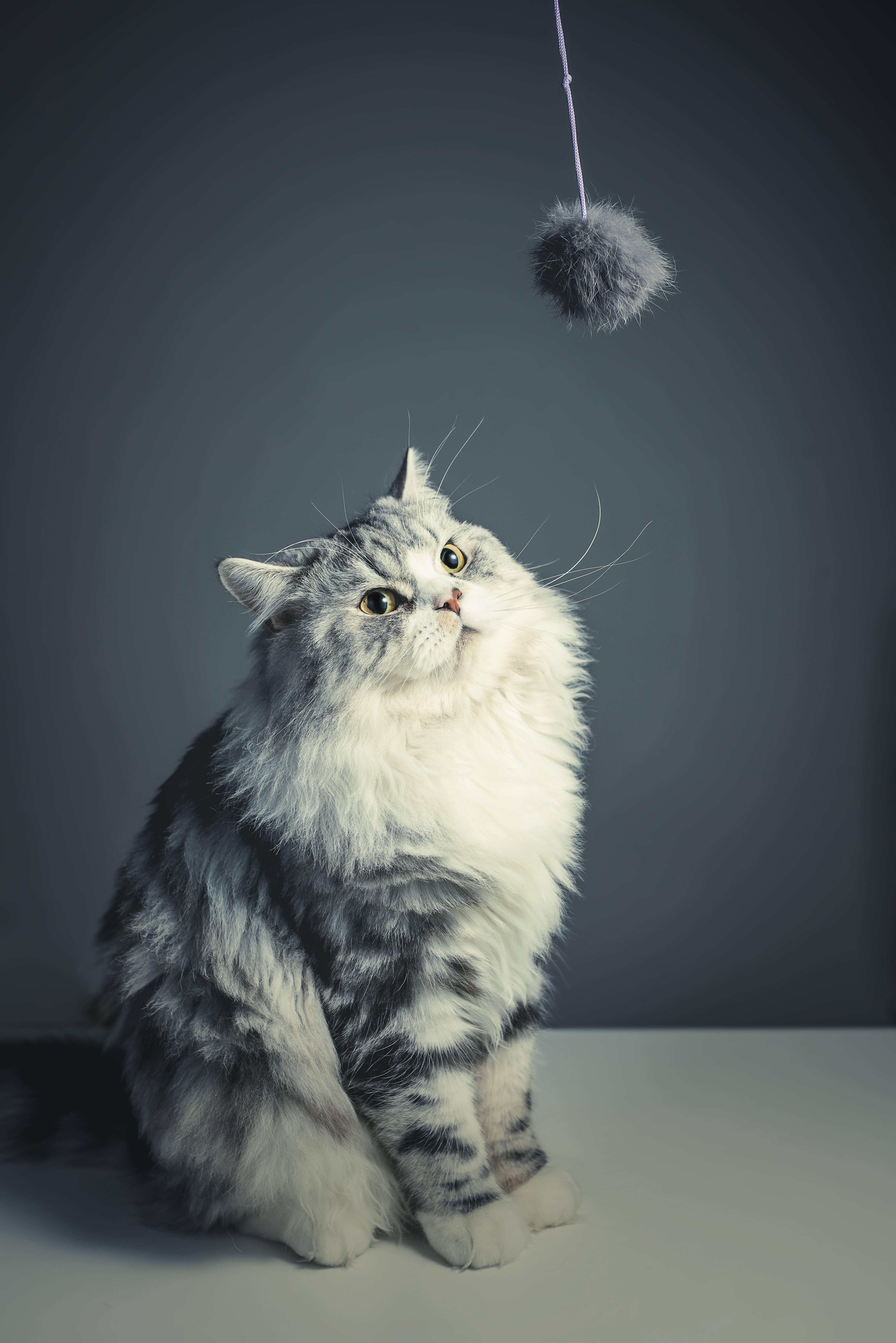 Científicos por fin descubren cómo usan los gatos su lengua para asearse