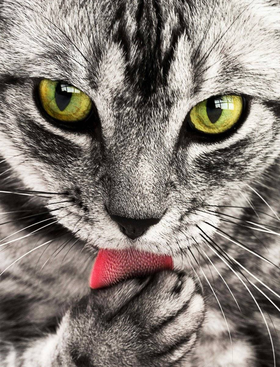Coronavirus: dos gatos domésticos en Estados Unidos dan positivo a COVID-19