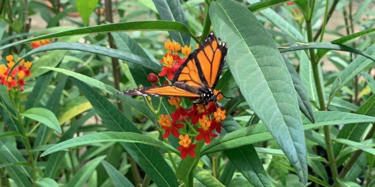 Nacen cientos de monarcas en mariposario de Vega Baja