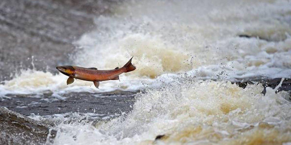 Esto si es perseverancia: el impresionante video de un grupo de salmones atravesando un calle que se volvió viral