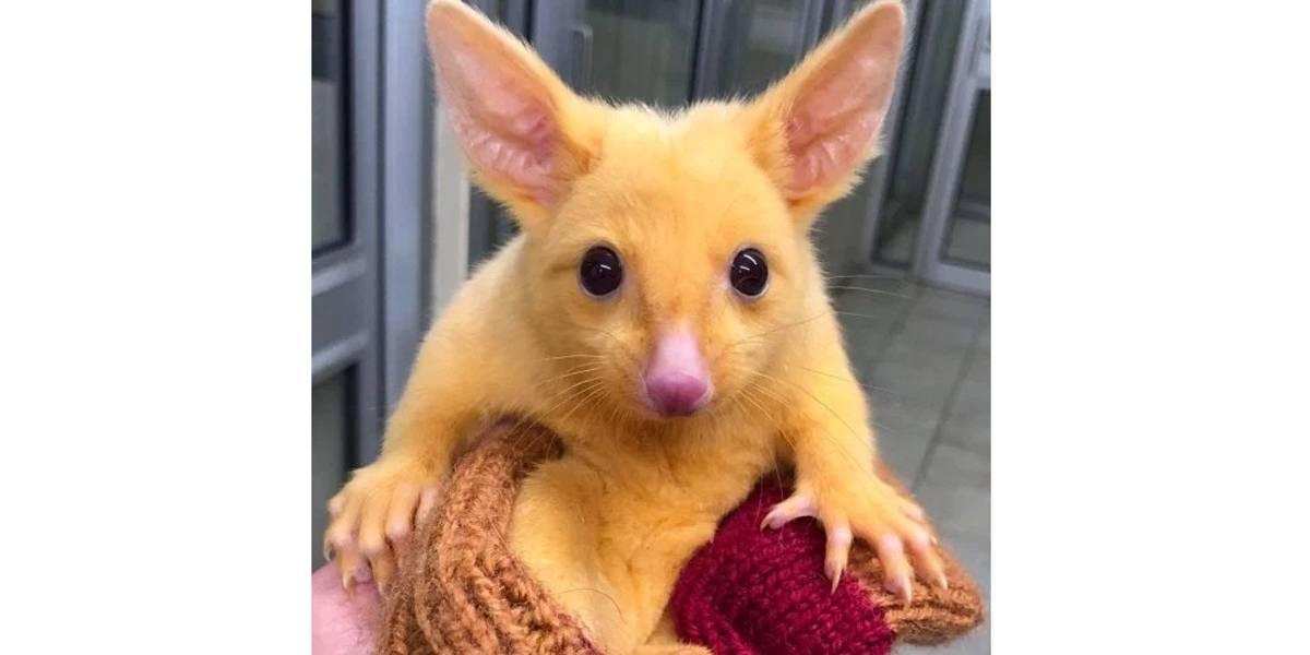 FOTOS: pequeno marsupial ganha título de Pikachu da vida real
