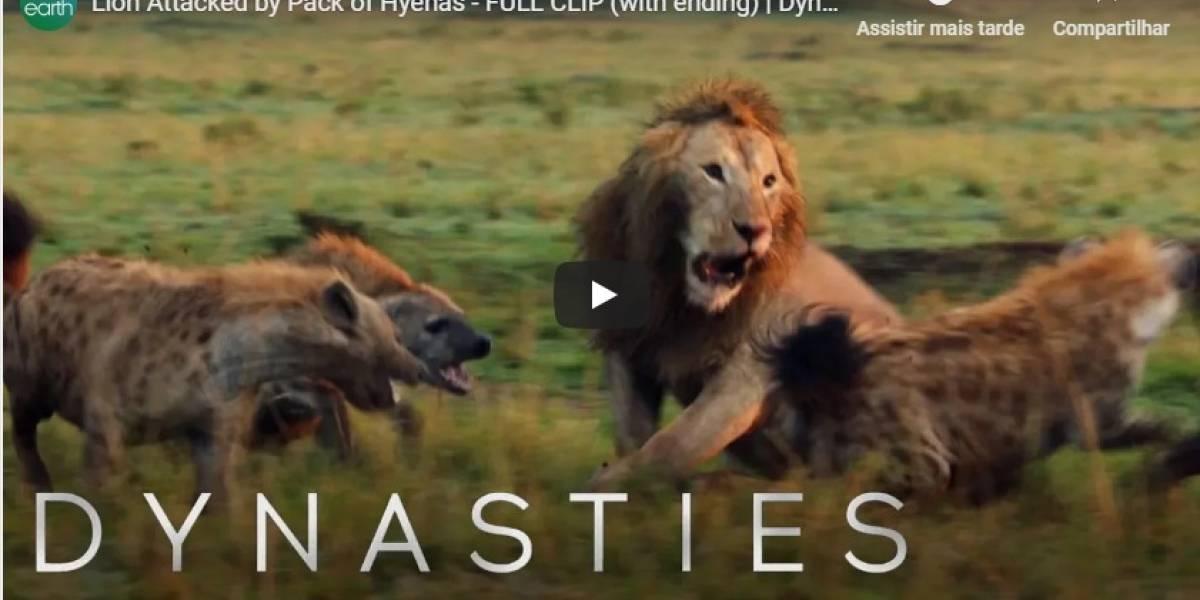 VÍDEO: um jovem leão sofre ataque brutal de um bando de hienas e é salvo pelo amigo