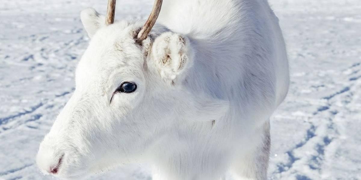 """Filhote raro de rena branca é fotografado """"camuflado"""" na neve na Noruega"""