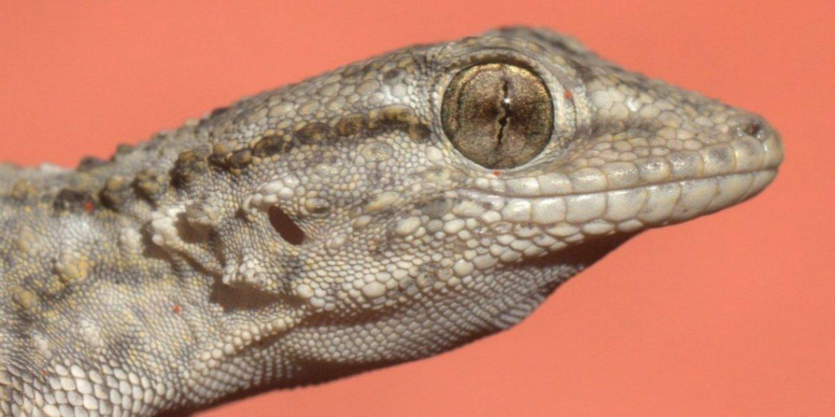 Geco Mediterráneo: la lagartija europea que llegó a Chile por error y encontró su hogar en Santiago