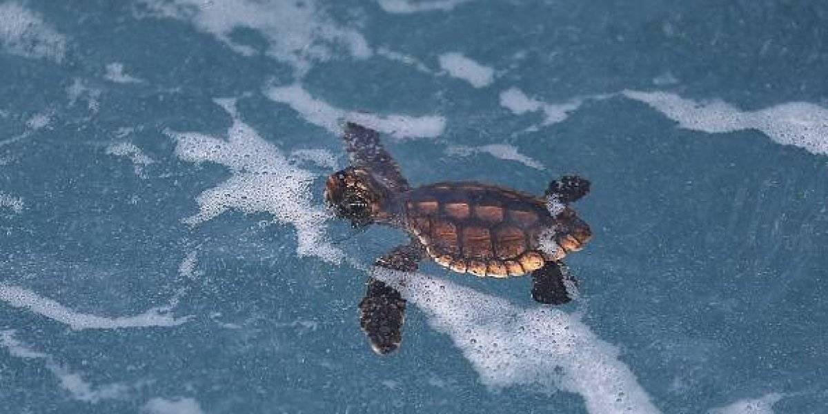Encuentran microplásticos en todas las especies de tortugas marinas del mundo