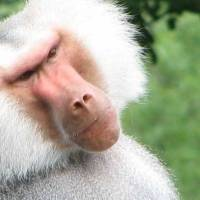 Dos monos reciben un trasplante de corazón de un cerdo y sobreviven. Noticias en tiempo real