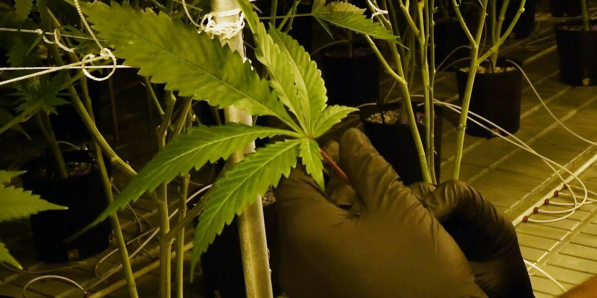 Salud certifica más de 1,000 personas para cannabis medicinal