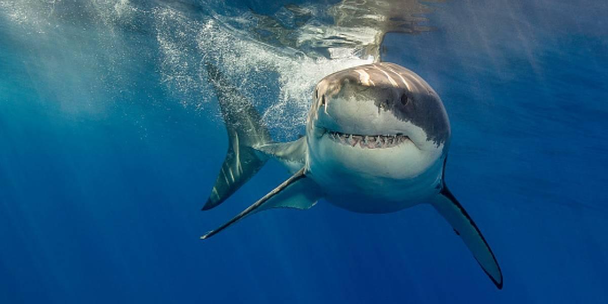 La increíble transformación en los océanos por culpa del cambio climático: tiburones se están convirtiendo en diestros