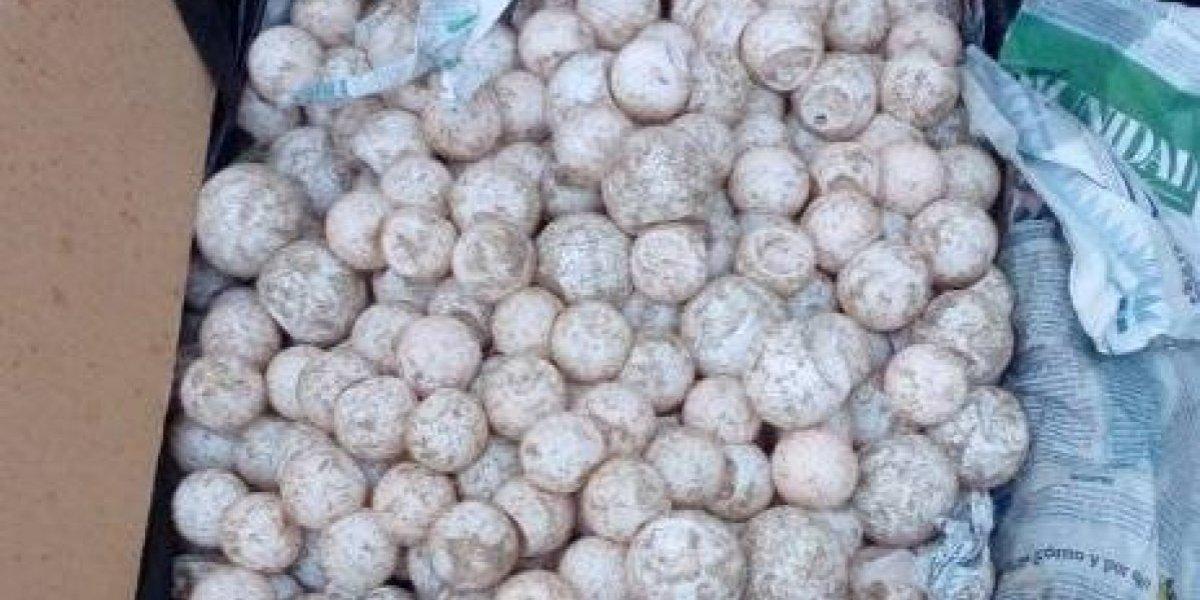 Profepa custodia más de 7 mil huevos de tortuga marina
