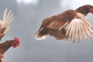 https://www.publimetro.com.mx/mx/bbc-mundo/2018/12/15/por-que-se-dice-que-estamos-viviendo-en-el-planeta-de-los-pollos.html