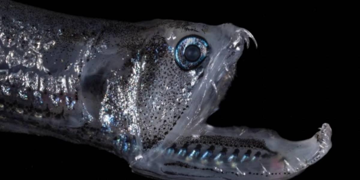 """El increíble hallazgo tras viaje a la """"dimensión desconocida"""" del mar: los misteriosos peces linternas que habitan el fondo del océano"""