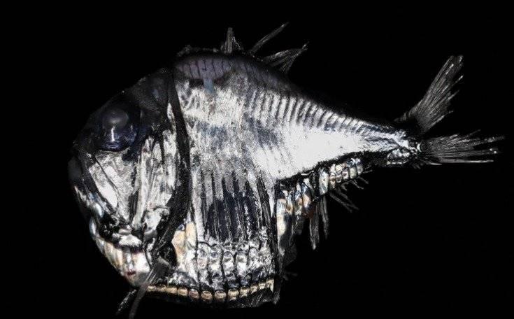 peces linterna