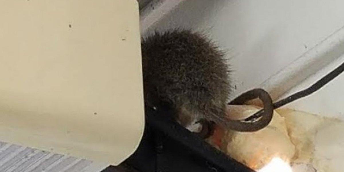 Hallan rata en salón de español de escuela en Arecibo
