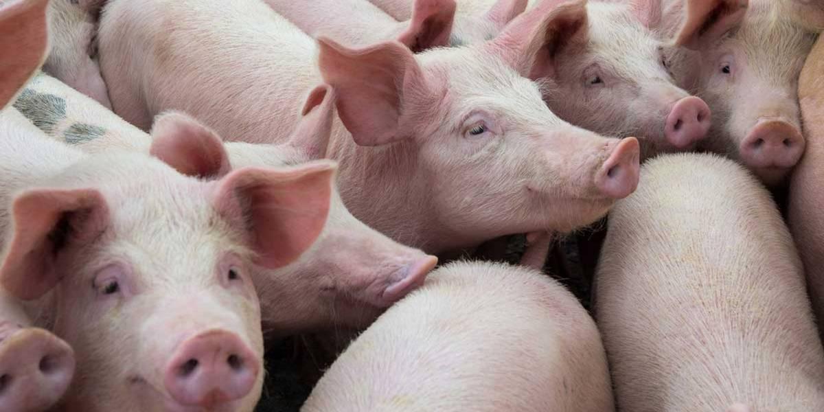 Pronto se realizará el primer trasplante de piel de cerdo a un humano