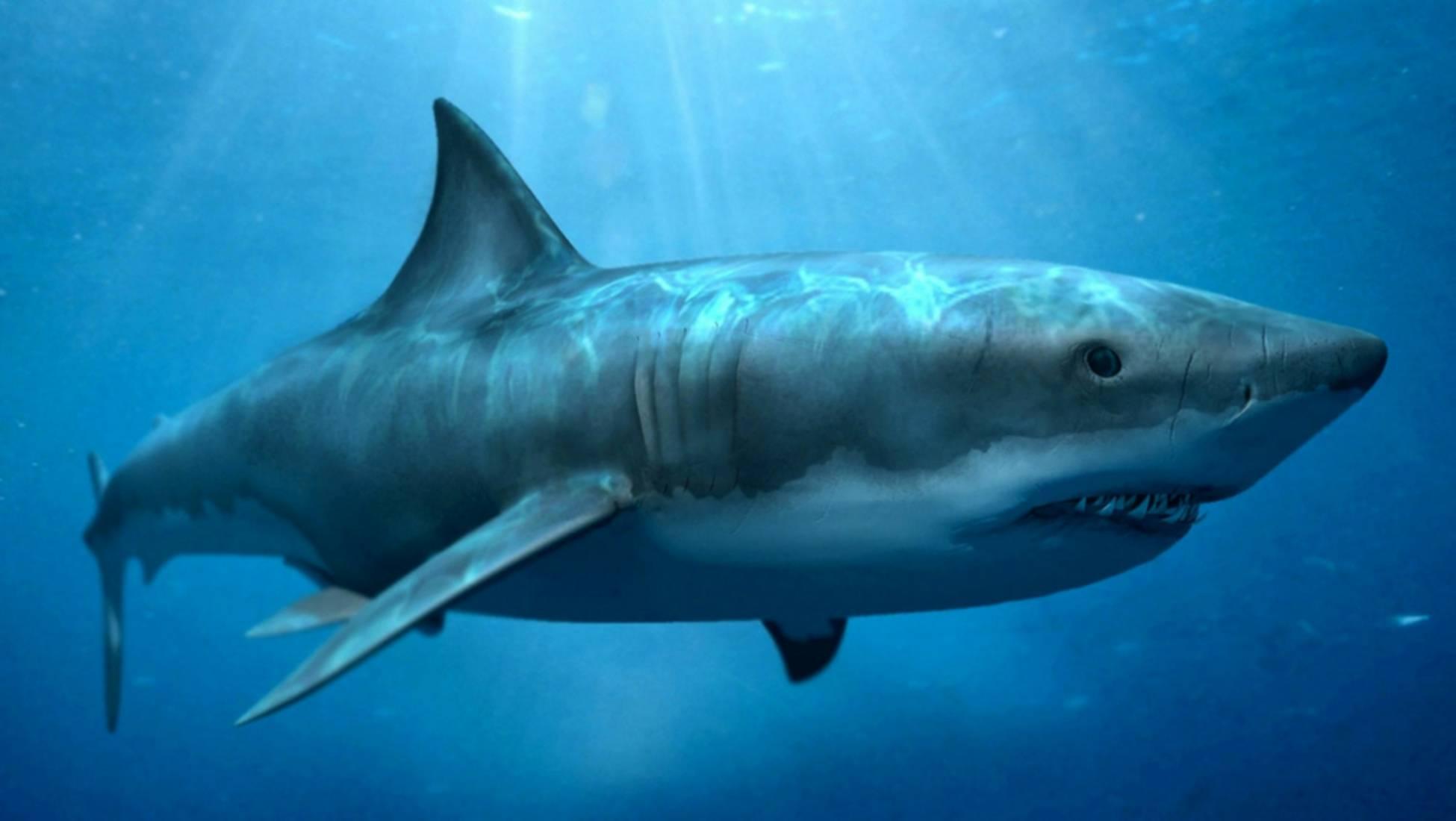 Tiburón gigante es encontrado con mordida enorme en su cabeza