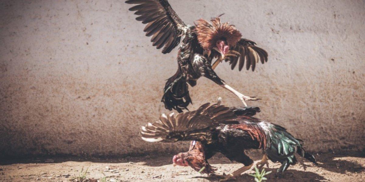 Espuelazo mortal a las peleas de gallos en Puerto Rico