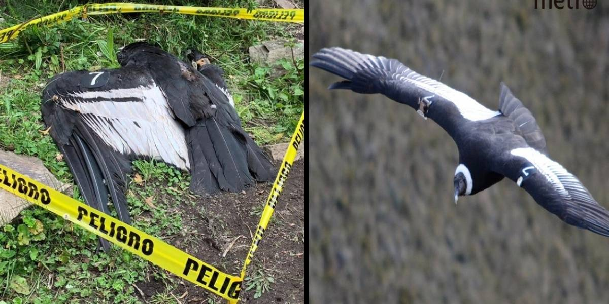 Cóndor hallada muerta en Pujilí habría sido envenenada