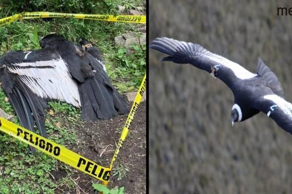 Cóndor hallado muerto ingirió alimento contaminado con insecticida