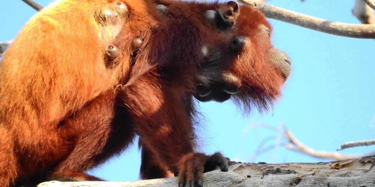 Reportan en la Sierra Nevada a monos aulladores en peligro por enfermedad en la piel