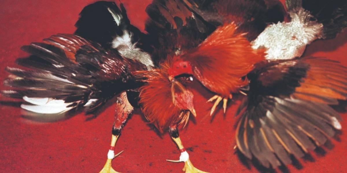 Arrestan a 182 por peleas de gallos en España