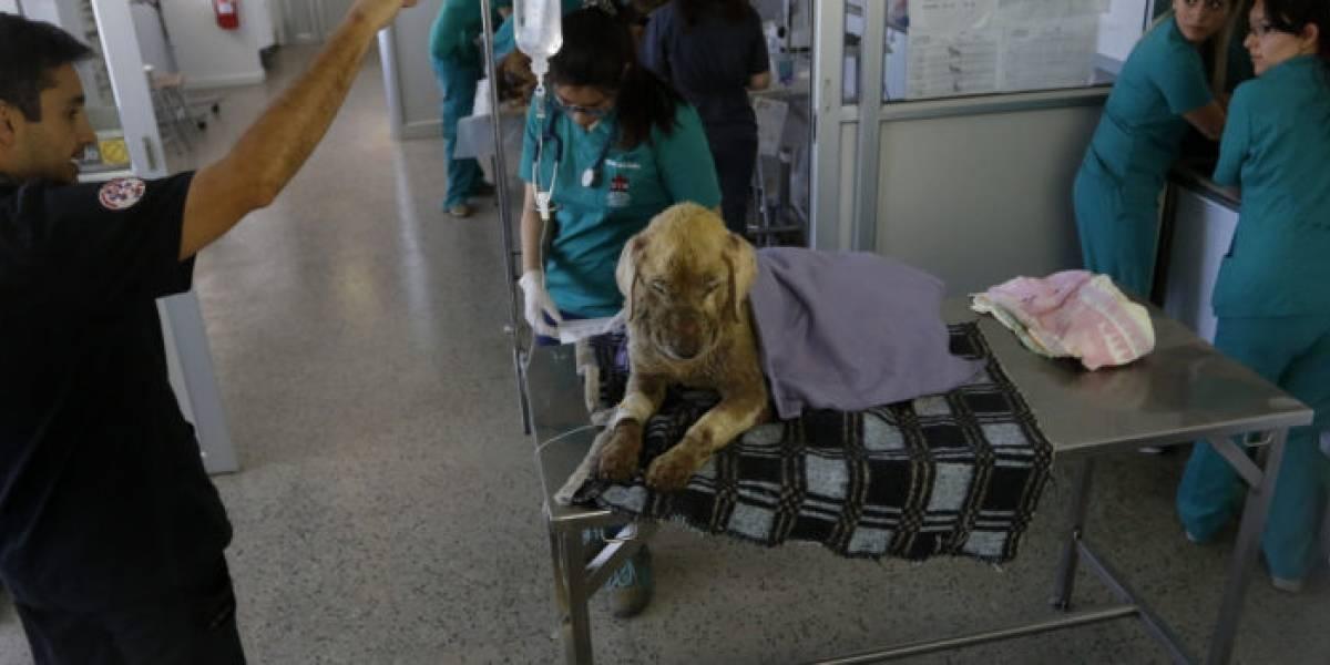Animales en desastres naturales: Colegio de veterinarios prepara a su unidad especializada para ayudarlos