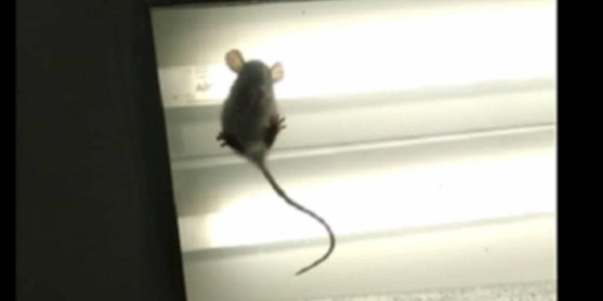 Ratas son vistas en el techo de clínica en Santa Marta