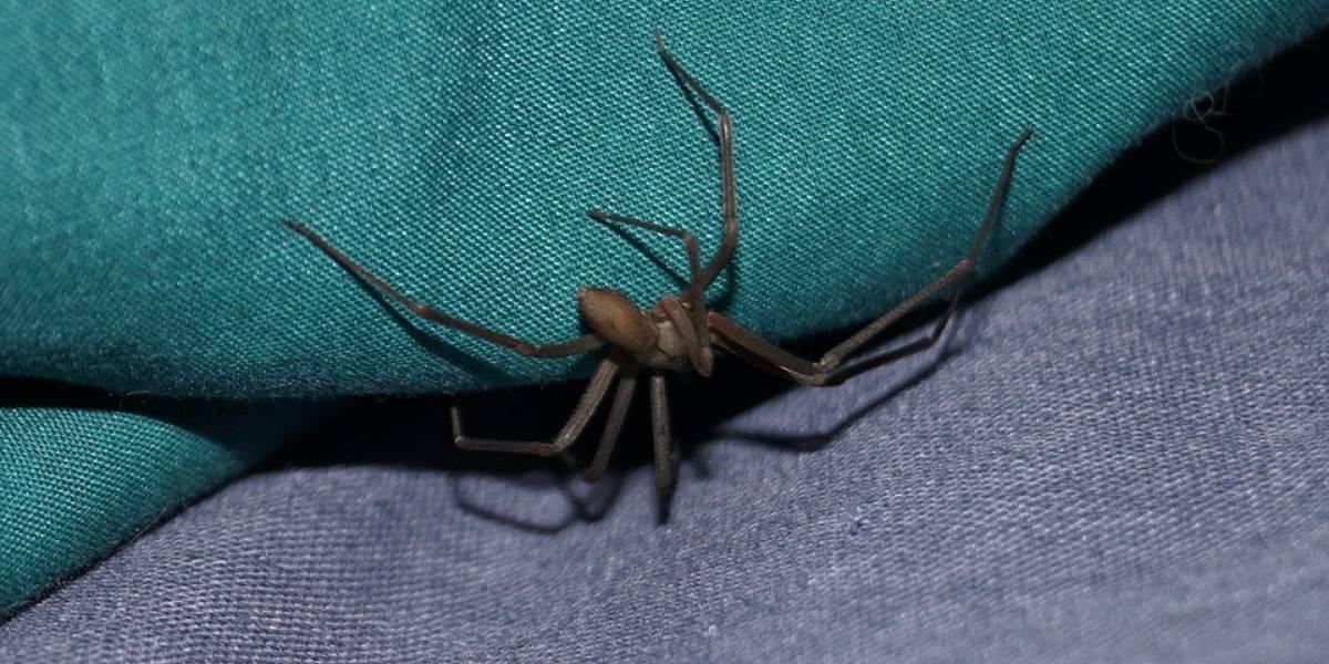 Alerta IMSS por aumento de araña violinista y viuda negra