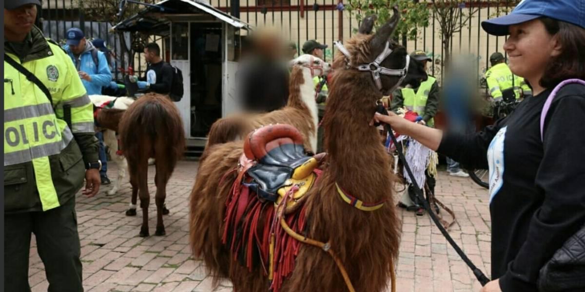 Protección animal decomisó llamas que eran explotadas en la Plaza de Bolívar