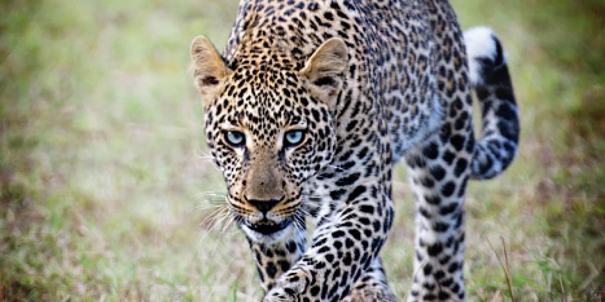Terrible: leopardo ingresa a casa, se roba a un menor de 3 años y lo devora en la selva