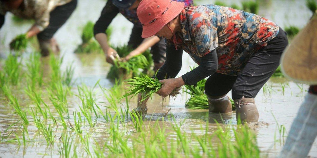 Arrendar en otros continentes para evitar la crisis: las tierras que China tiene alrededor del mundo