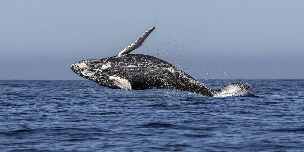 Por que o Japão decidiu voltar a caçar baleias apesar de proibição internacional