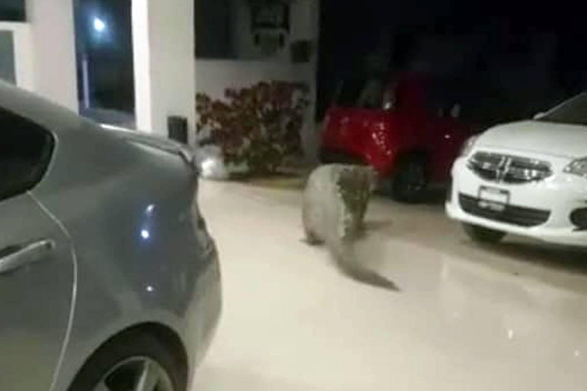 Cocodrilo de tres metros se mete a una agencia automotriz en Puerto Vallarta
