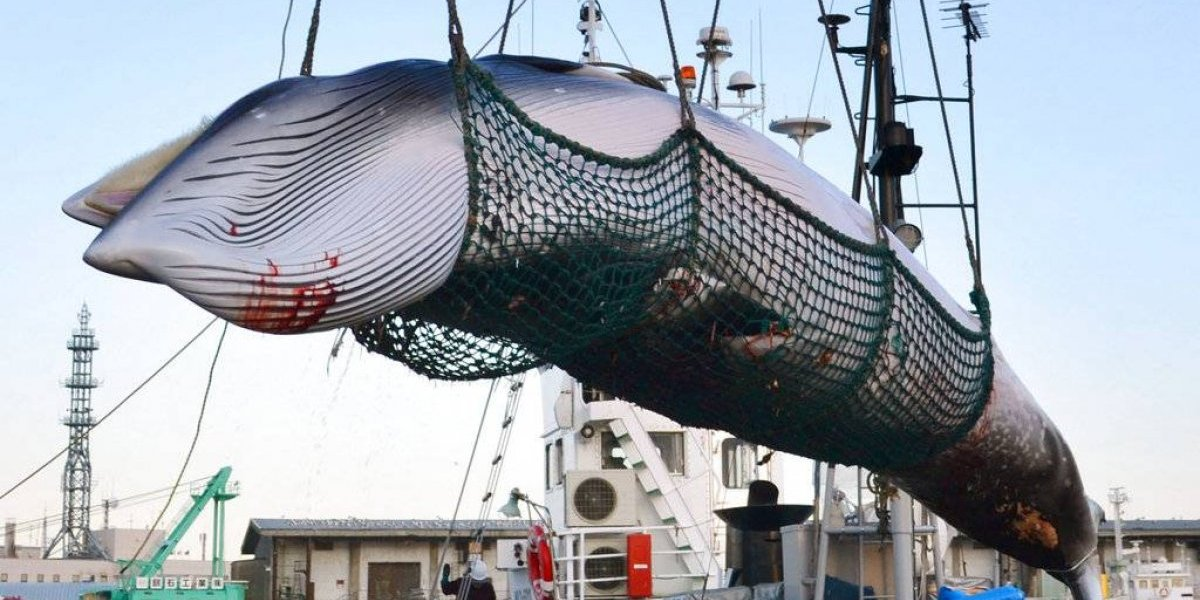 Malas noticias: Japón anuncia que reanudará la caza comercial de ballenas en 2019