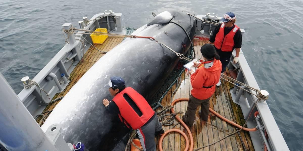 Japón reanudará caza comercial de ballenas en 2019