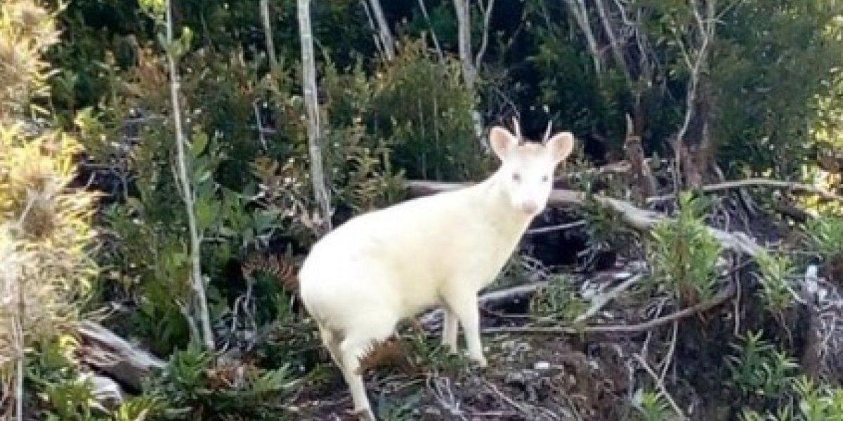 Sorpresa por avistamiento de extraño ejemplar de pudú albino en Chiloé desata la locura en redes sociales