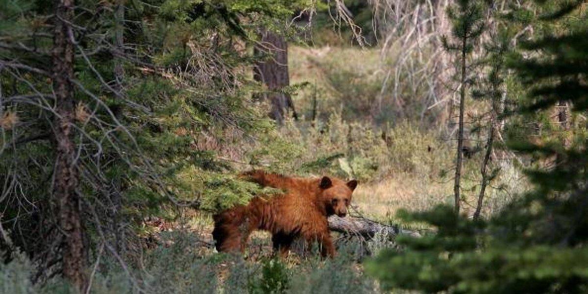 """Dejó solo los huesitos: cazador fue devorado por oso que mantuvo como """"mascota"""" por cuatro años"""