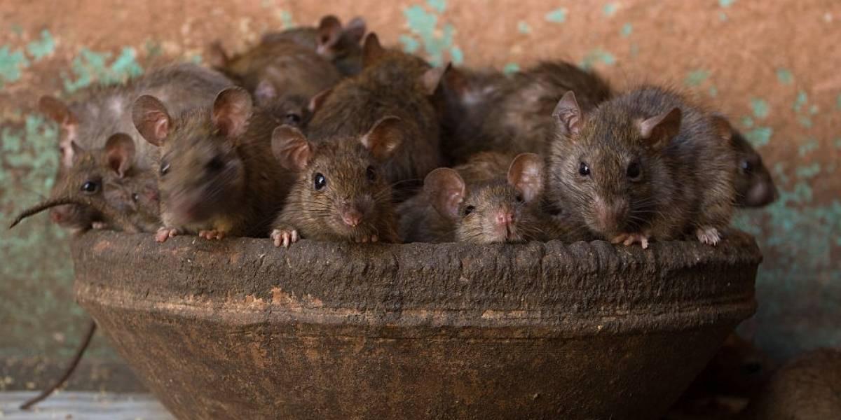 Como o aquecimento global pode multiplicar a população de ratos