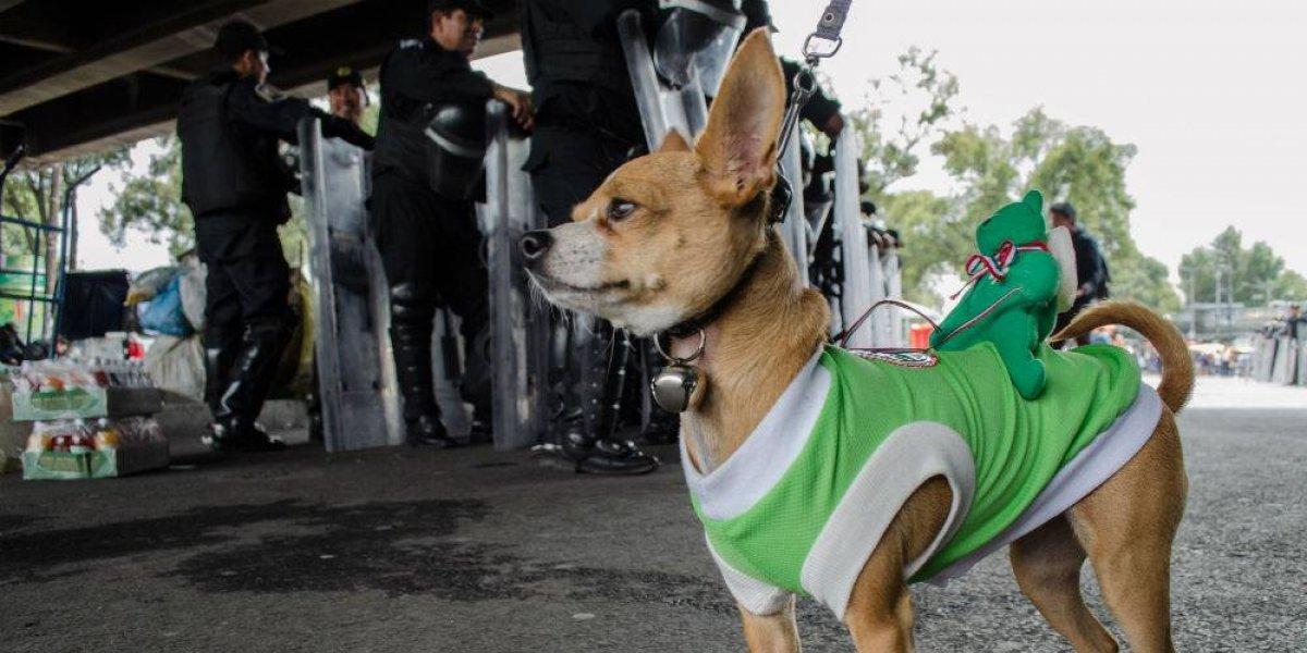 Agresividad de perros Chihuahua se debe a su seguridad: experto