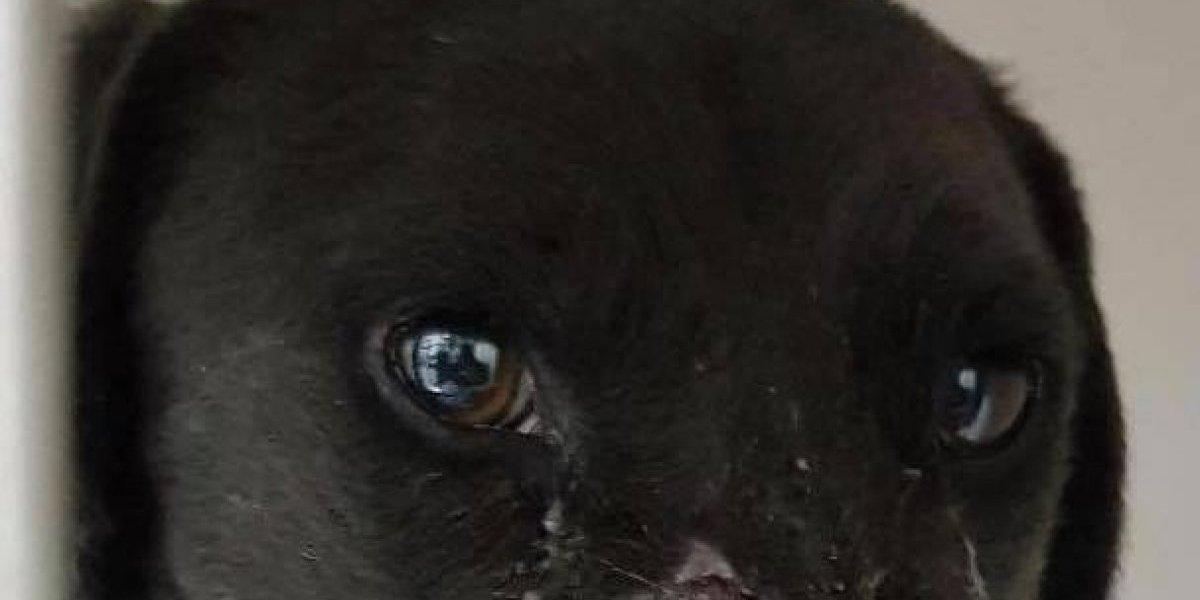 Crueldad total: le pusieron a un perro un petardo en la nariz, lo hicieron estallar y lo dejaron horriblemente desfigurado