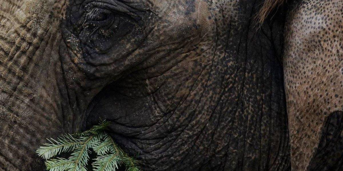Elefantes de zoológico se comen árboles navideños