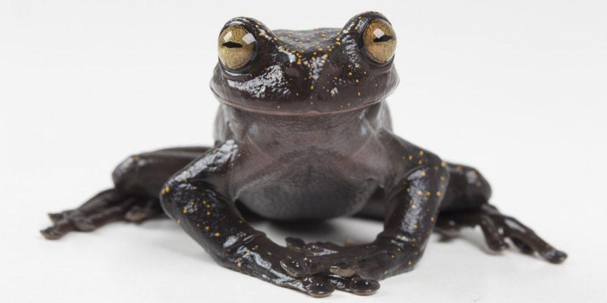 Descubren en Ecuador una rana extraordinaria
