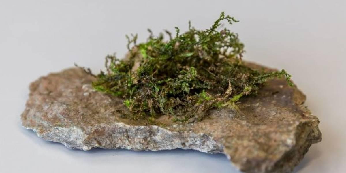 Conozcan la radula, una planta que podría ser la marihuana del futuro