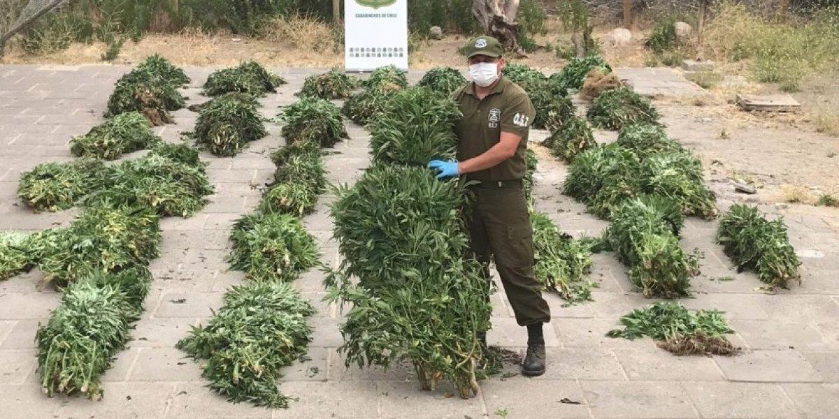 ¡Les esfumaron el negocio! Carabineros incautó 2 mil matas de marihuana en Los Vilos avaluadas en $4 mil millones