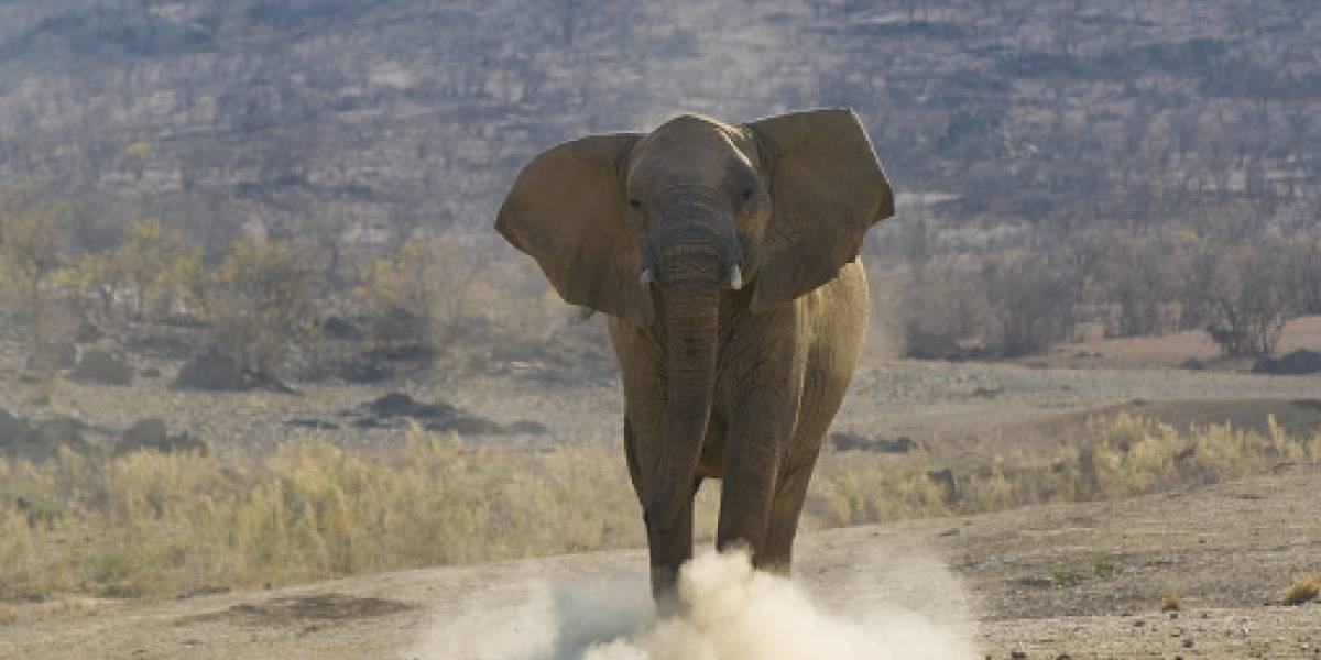 Intenta hipnotizar a elefante y muere aplastado